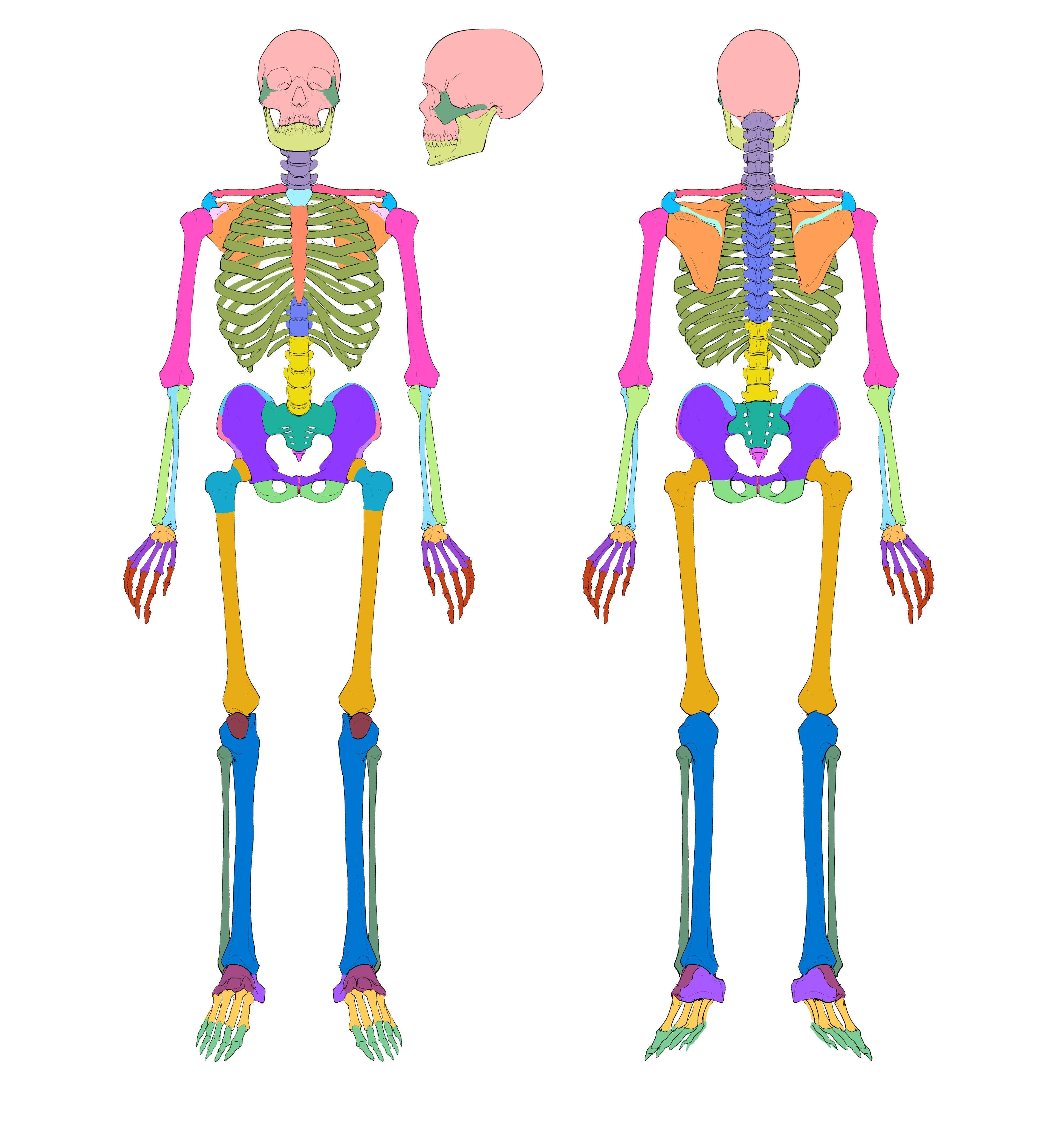 1-1_skeleton_colored_unlabeled.jpeg