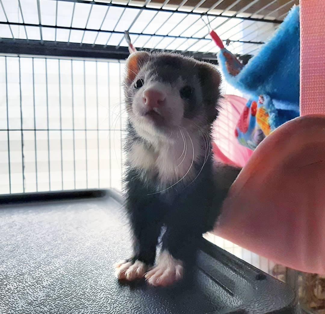 best ferret food.jpg