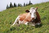 260px-Cow_(Fleckvieh_breed)_Oeschinensee_Slaunger_2009-07-07.jpg
